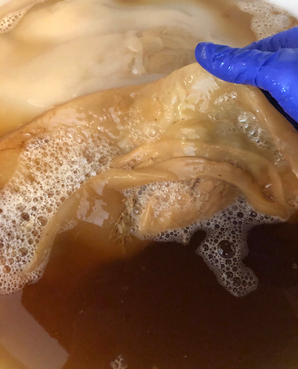 layers of the scoby, looking at healthy scoby growth and development, SCOBYs are used for making kombucha