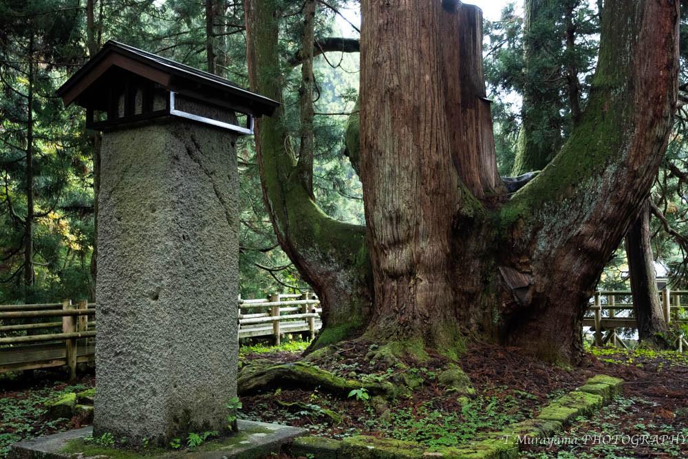 日本一の太さを誇る将軍杉