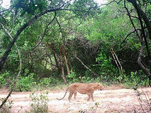 pic_wilpaththu_leopard_6.jpg