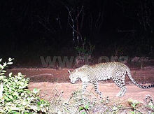 pic_wilpaththu_leopard_31.jpg