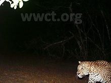 pic_wilpaththu_leopard_4.jpg