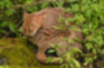 rusty_spotted_cat_2.jpg
