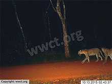 pic_wilpaththu_leopard_22.png