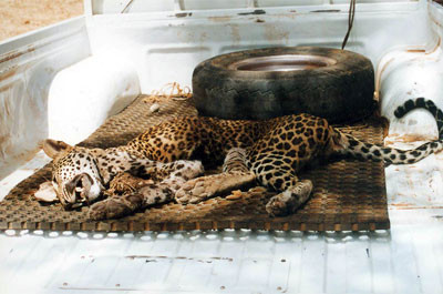 The remains of a killed female leopard being transported to the wildlife office - Yala