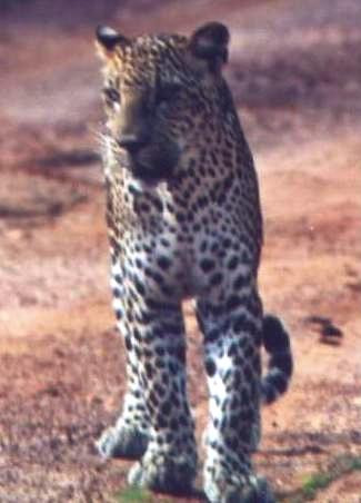 """STRIPE Resident Adult Female leopard that had a male cub """"star"""" who we followed from a very young cub to a young adult. Yala Block I"""