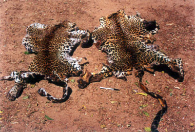 Two leopard cubs killed outside Yala National Park - sadly a ranger who worked with us during our research at the park was killed in the line of duty in a consequent raid.