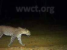 pic_wilpaththu_leopard_34.jpg