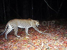 pic_wilpaththu_leopard_16.jpg