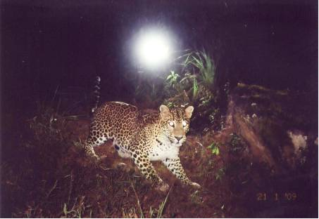 AGRA Female leopard monitored in Agrabopath study site