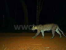 pic_wilpaththu_leopard_47.jpg