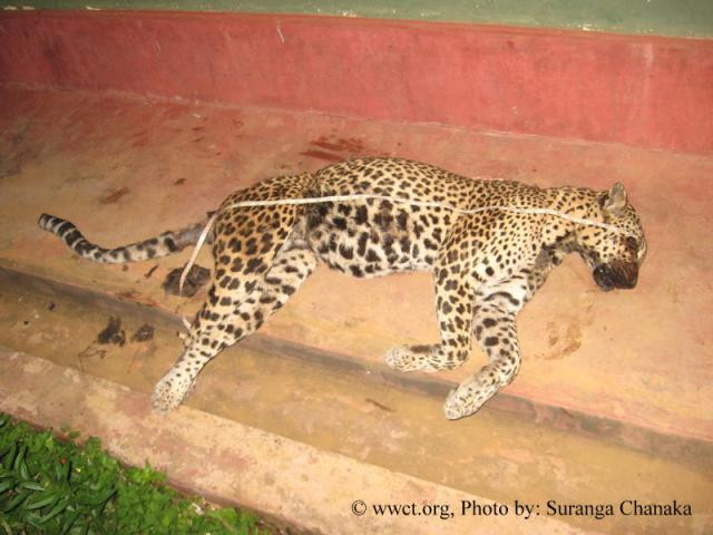 Killed leopard found in Pedro (Nuwara Eliya), Due to a snare put by poachers