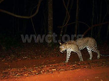 pic_wilpaththu_leopard_18.jpg