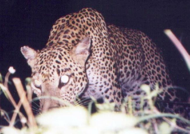 SAND Female leopard checking out a camera trap Yala Block I