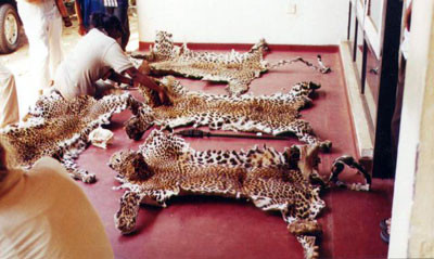 Measuring leopard skins confiscated from around the Angamadilla area, Polonnaruwa District. Four leopards, three adults and one cub were shot by a man claiming they had come to kill his cattle. The skins told a different story-the animals were killed at different times.