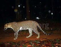 pic_wilpaththu_leopard_49.jpg