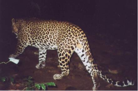 BEAT Young male Kandy Site, Captured on camera trap