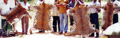 Four leopard skins confiscated after a set-up buy was orchestrated with the poachers by wildlife department staff