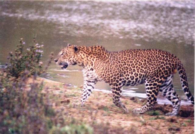 KW Adult male leopard in Yala block I