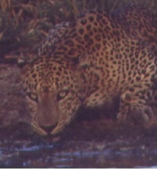 LFS Resident male leopard study area - Yala Block I