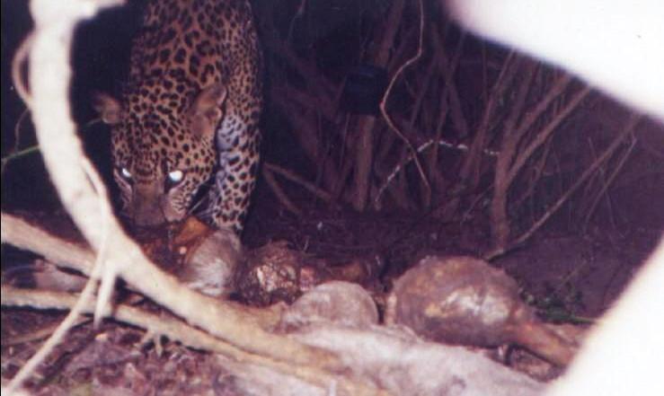 KINK Female leopard at baby buffalo kill Yala Block I
