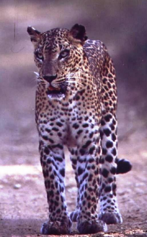 STAR Young male who we followed from a very young cub to young adult. Yala Block I
