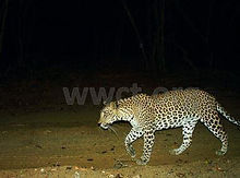 pic_wilpaththu_leopard_35.jpg