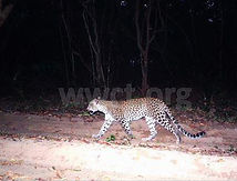 pic_wilpaththu_leopard_44.jpg