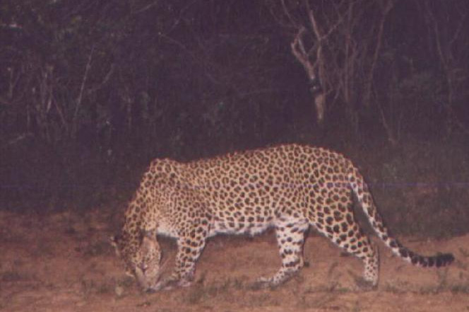 HEENA Resident Adult Female who had a male cub during our study time at Yala Block I