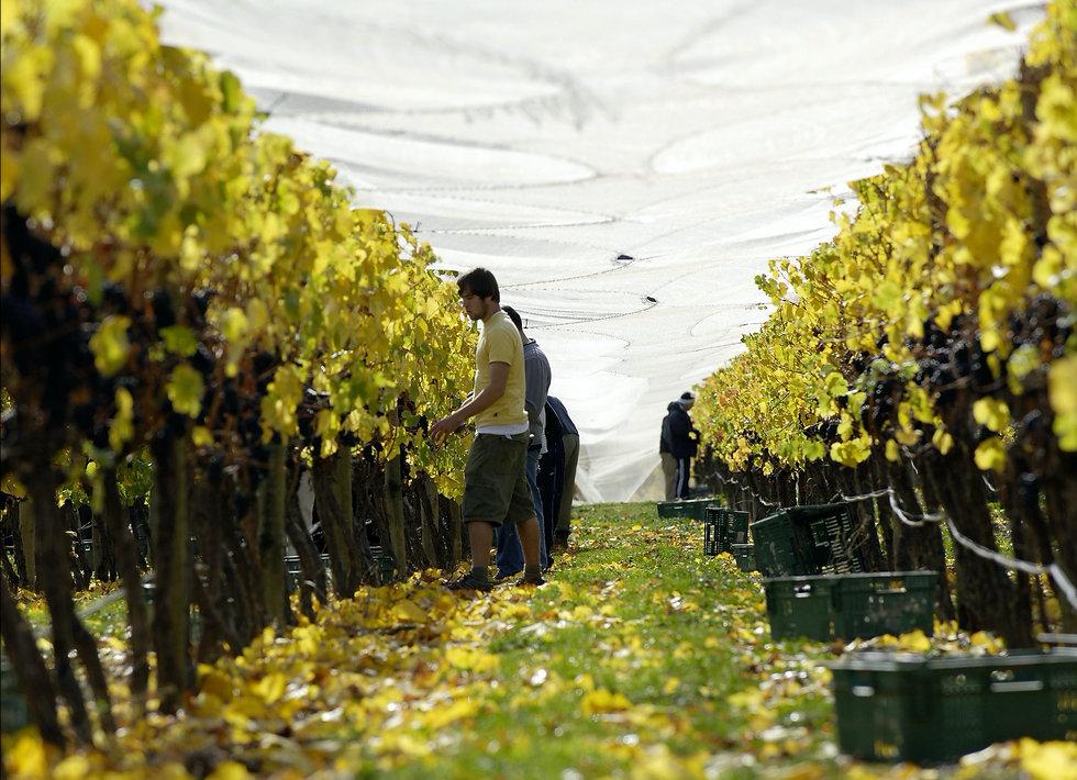 Grape Picking.jpg