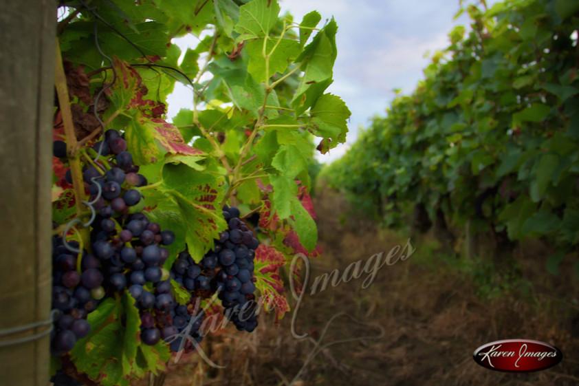 Pinot Noir Bourgogne_Karen Images 2020.j