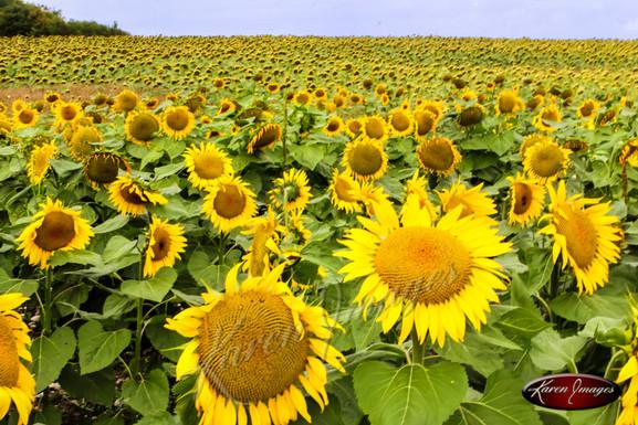 Loire Sunflowers_Karen Images 2020.jpg
