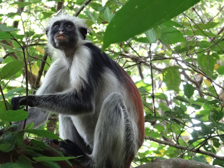 Zanzibarskie opowieści-Jozani Chwaka Bay National Park