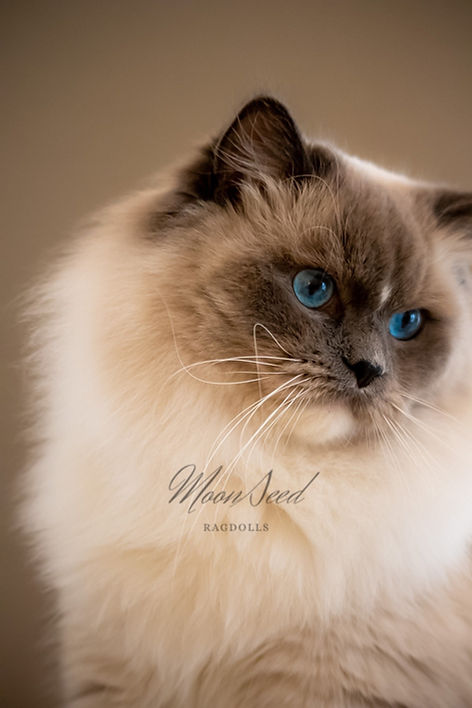 MoonSeed Ragdolls sire, USAPurrs Hawthorn is a blue mitted Ragdoll cat with stunning blue eyes. A gorgeous cat.
