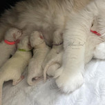 A love litter of blue lynx kittens .jpg