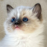 Seal mitted Ragdoll kitten