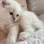 Blue lynx mitted ragdoll kitten