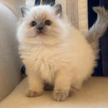 Blue colorpoint Ragdoll kitten