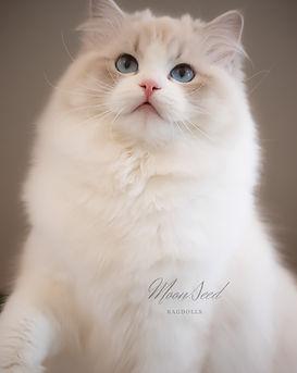 Show quality blue lynx bicolor Ragdoll cat