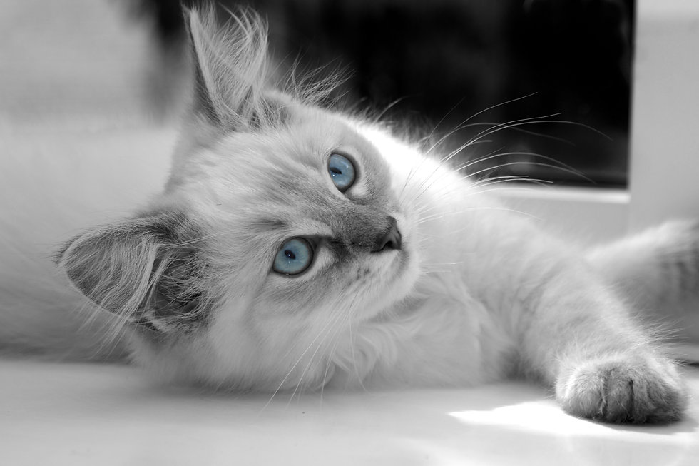 black and white ragdoll stock photo.jpeg