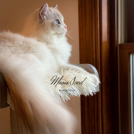 One beautiful Ragdoll cat sitting on perch and looking out the window.