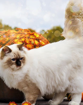 Show quality Seal Mitted Ragdoll cat