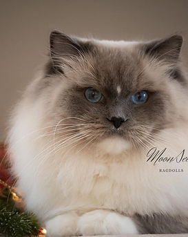 Show quality blue mitted Ragdoll male