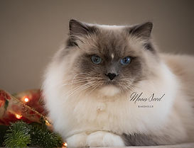 Show quality blue mitted ragdoll cat, USAPurrs Hawthorn of MoonSeed