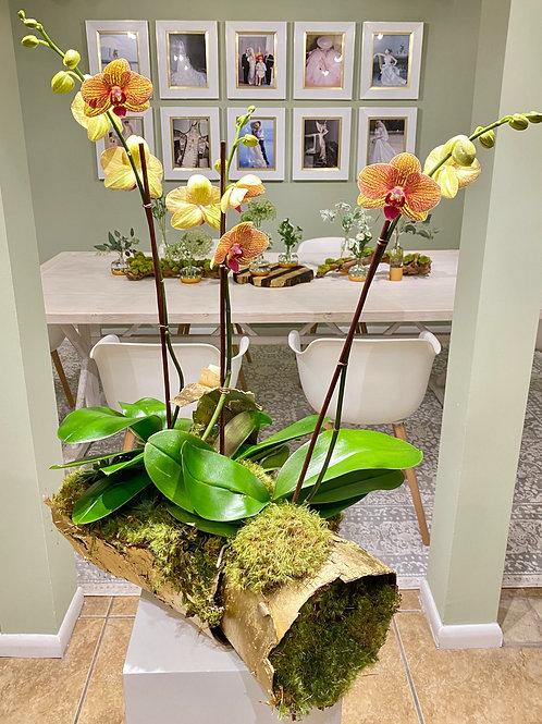 Birch Orchid Plant