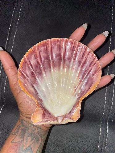 Lions Paw Scallop Seashell for Smudging