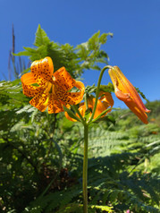 Wild columbia lily on my favorite nature trail