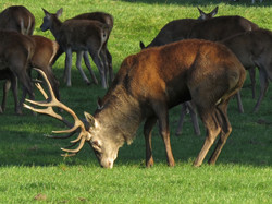 Red deer at Chatsworth