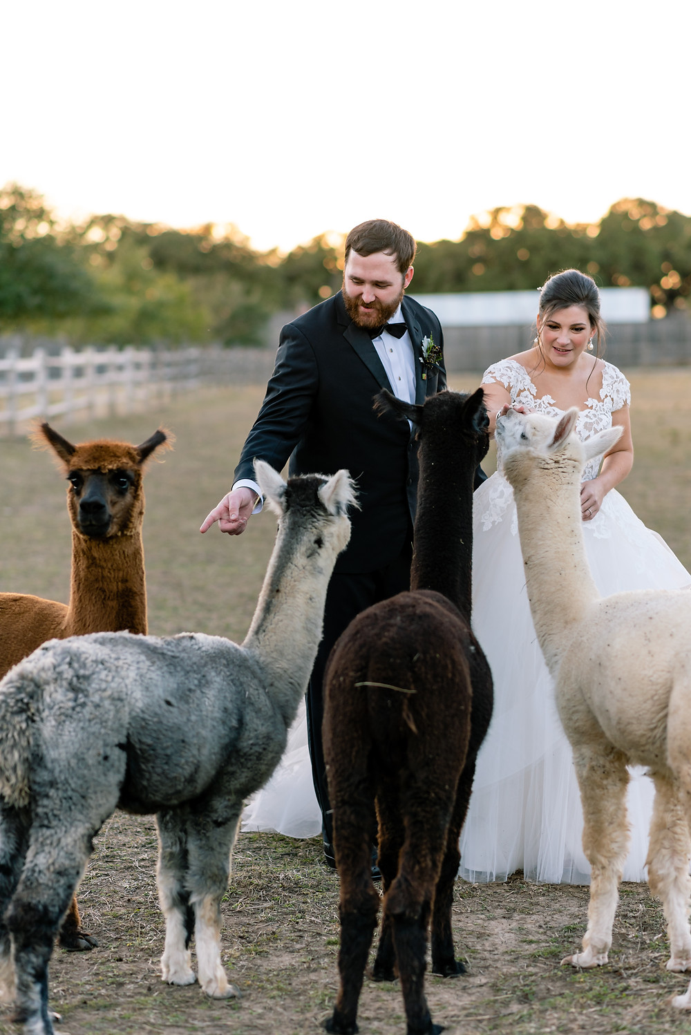 bride and groom with llamas at camp lucy