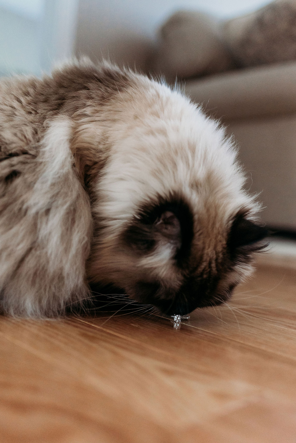 cat with engagement ring