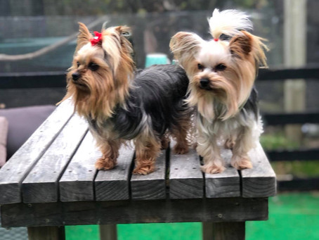 How Often to Bathe Your Yorkie